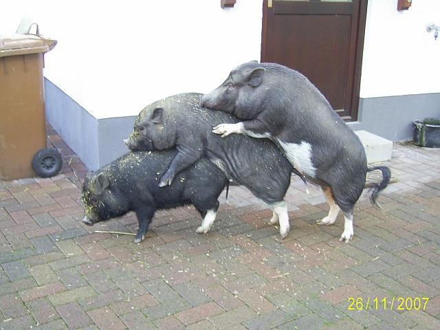 http://www.minischwein-forum.de/schweine-fotos/schweine-fotos-der-woche/2007/schweine_4.jpg